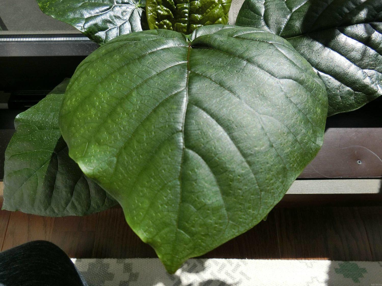 ウンベラータの葉、正常