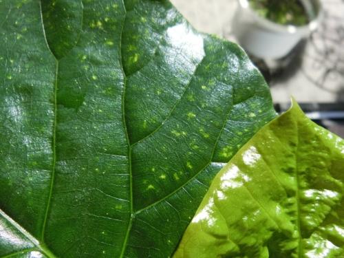 ウンベラータの葉、黄色斑点