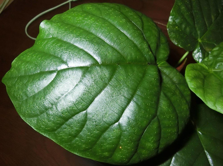 ウンベラータ:斑点が出た葉(発見0日目)
