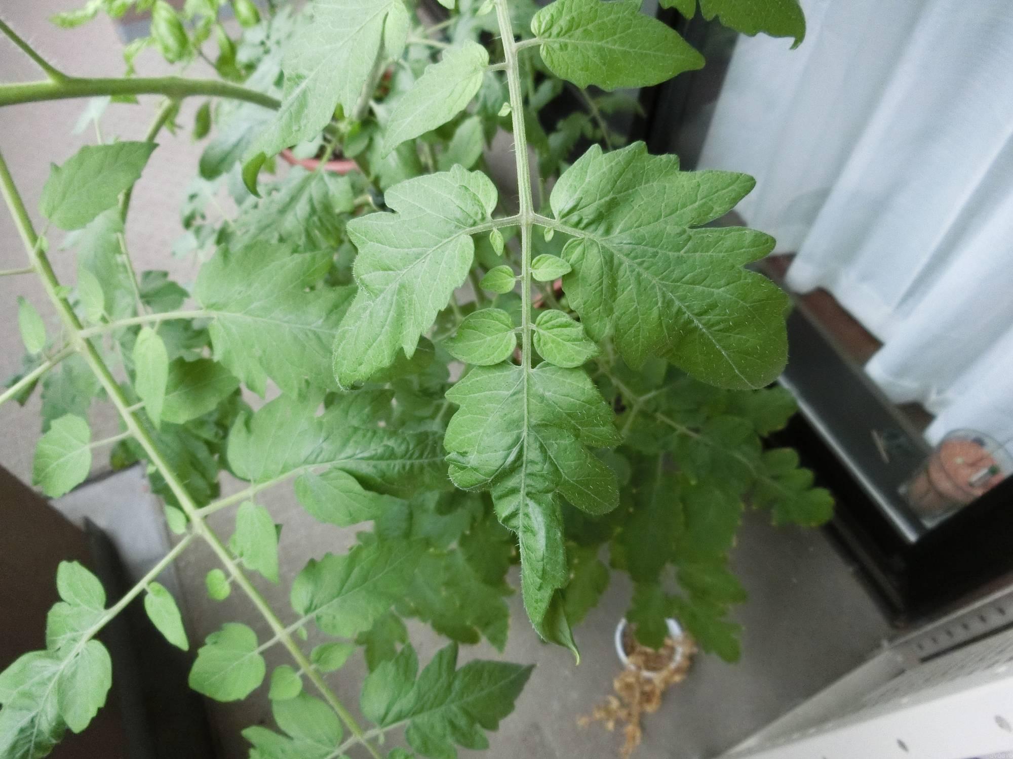 ミニトマトの正常な葉