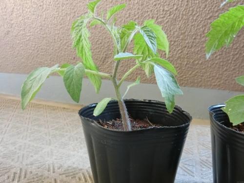 トマトの葉のボコボコ
