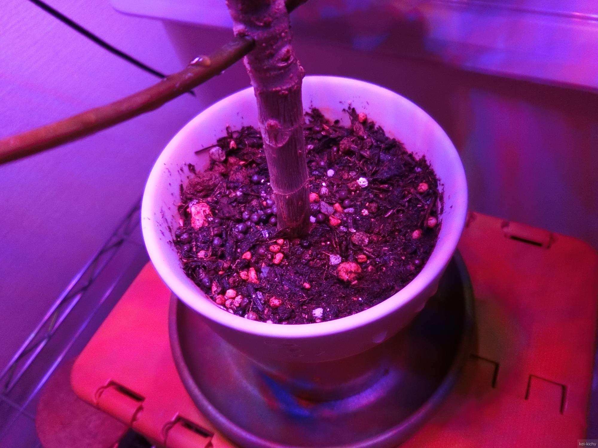 ウンベラータ栽培、鉢の土表面から根が見える