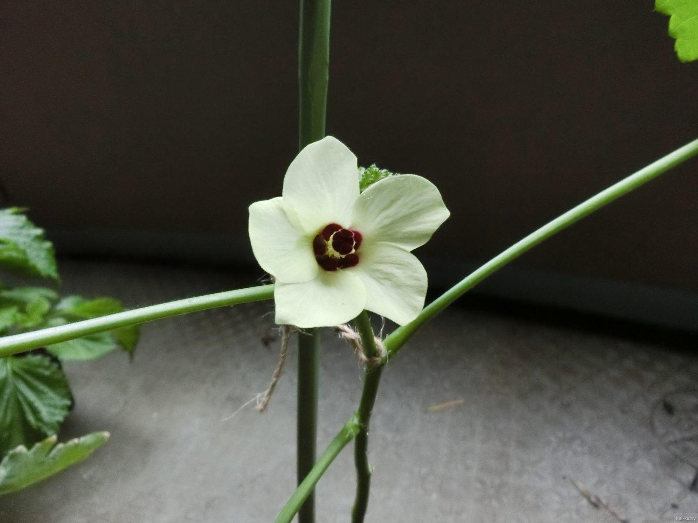 オクラの花、全開その1